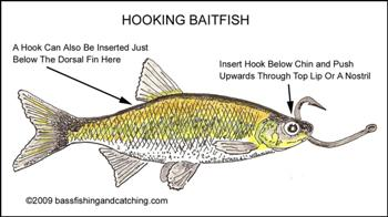 Best way to hook up live bait